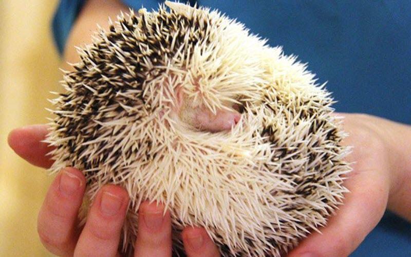 Hedgehog-curled-up